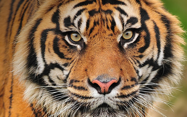 Bild Sumatra-Tiger